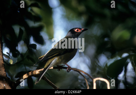 Australia, wildlife, birds, male Australasian Figbird (Sphecotheres vieilloti). Found in NE and coastal NT. - Stock Photo