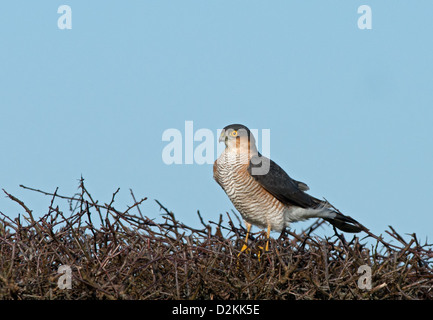 Male Sparrowhawk, Accipiter nisus, lands on hedge. Uk - Stock Photo