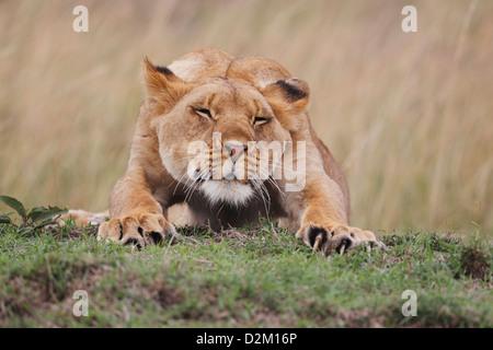 Lion stretching, Masai Mara, Kenya Loewe lion Panthera leo - Stock Photo