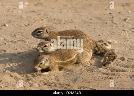 Cape ground squirrels / South African Ground Squirrel, Xerus inauris; group of three, in the Kalahari desert, South Africa