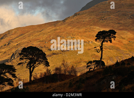 Two pine trees silhouetted beneath hills of the Ben More Crianlarich range, Scottish Highlands - Stock Photo