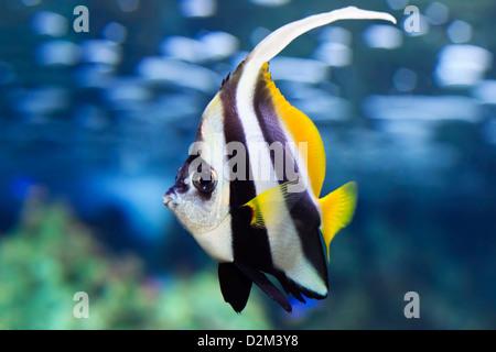 Pennant Coralfish (Heniochus acuminatus), also known as the Longfin Bannerfish or Coachman - Stock Photo