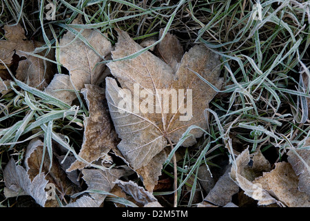 Frozen frosty Sycamore (Acer Pseudoplatanus) Great Maple leaves and grass blades in early morning light - Stock Photo