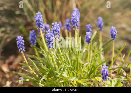 Small grape hyacinth flowering in Spring common grape hyacinth Muscari botryoides amongst germinating grass - Stock Photo