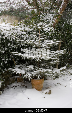 Snow flakes falling on Norway Spruce (Picea abies) Christmas tree with Ivy (Hedera helix) in background. A Snowy - Stock Photo