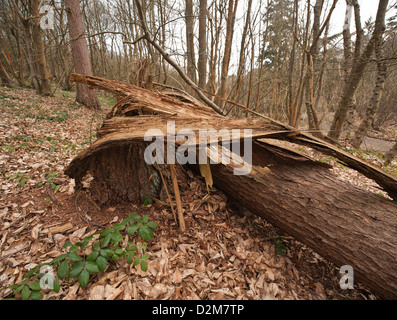 Old rotten tree splintered base from being blown over in the wind bark splinter and debris from spruce tree - Stock Photo