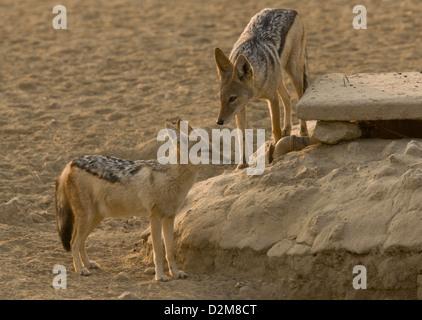 Pair of black-backed jackal (Canis mesomelas) in the Kalahari Desert, South Africa - Stock Photo