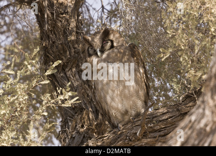 Verreaux's Eagle Owl (Bubo lacteus) perched in tree, Kalahari Desert, South Africa - Stock Photo