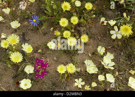 Mixed spring flowers, including yellow Grielum, blue Felicia in Skilpad Nature Reserve, Namaqua National Park, South - Stock Photo