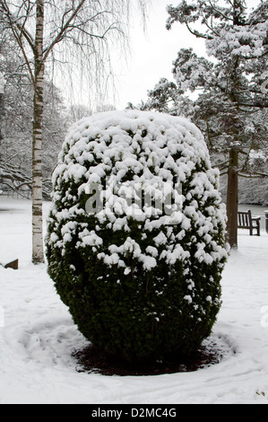 Yew bush, Taxus baccata, in winter with snow. - Stock Photo
