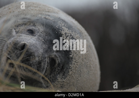 A juvenile grey seal Halichoerus grypus, in the sand dunes of Helgoland, North Sea - Stock Photo