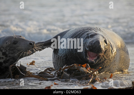 Adult male and female grey seal Halichoerus grypus, during courtship behavior Helgoland, North Sea - Stock Photo