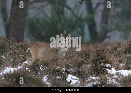 Roe deer in the snow - Stock Photo