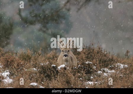 Roe deer with falling snow flakes - Stock Photo