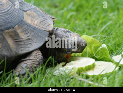 Close up front view of pet tortoise in garden on grass eating slices of cucumber - Stock Photo