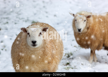 Two Sheep ewes in snow storm winter Norfolk - Stock Photo