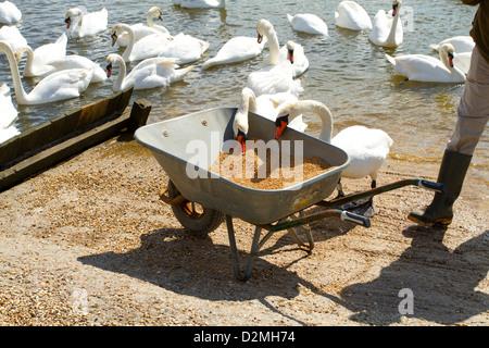 Mute Swans (Cygnus olor), adults, taking corn from wheelbarrow at Abbotsbury Swannary, Dorset, England, April - Stock Photo