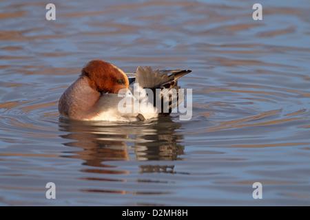 single Wigeon Anas penelope male preening in tidal creek - Stock Photo