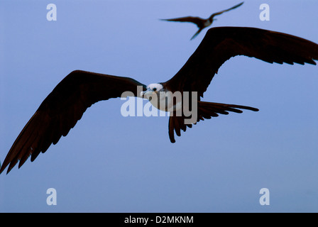 Frigate Birds, Mazatlan,Mexico - Stock Photo