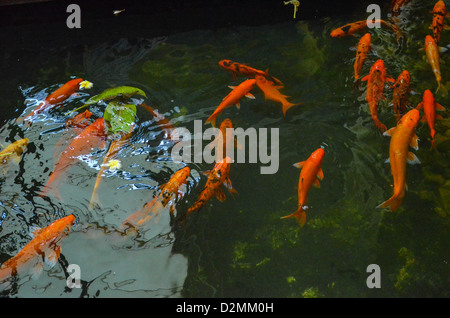 Fish orange in many pond. - Stock Photo