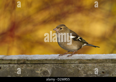 Chaffinch (Fringilla coelebs), adult female, perched on timber fence in garden, Warwickshire, England, January - Stock Photo