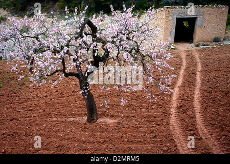 Almond blossom and stone shed in Spring, Catalonia, Spain - Stock Photo
