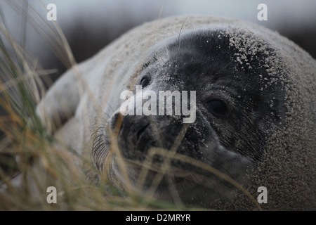 A juvenile grey seal Halichoerus grypus, Helgoland, North Sea - Stock Photo