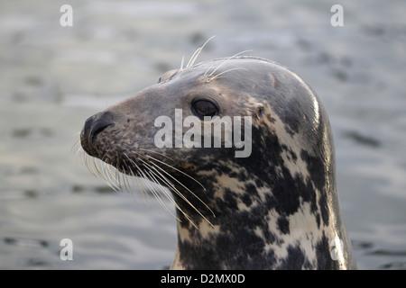 Grey seal (Halichoerus grypus) close-up on the Polish Baltic Sea coast - Stock Photo