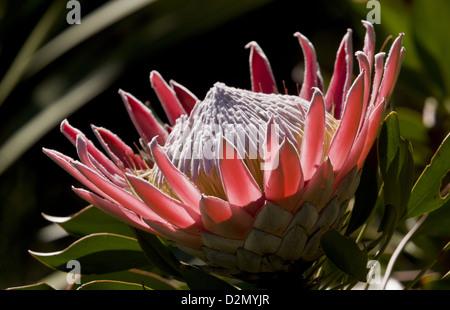 King Protea (protea cynaroides) a rare shrub of fynbos in Western Cape, South Africa - Stock Photo