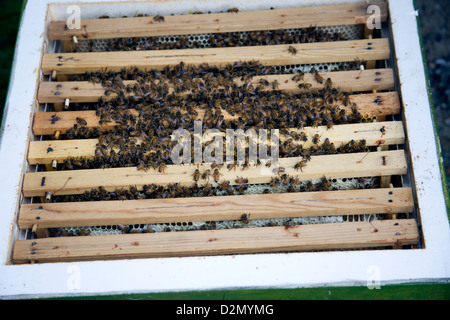 Honey bees, Apis mellifera, on frames in hive. - Stock Photo