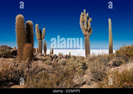very old gigantic cacti, Trichocereus pasacana, on Incahuasi Island, salt lake Salar de Uyuni - Stock Photo