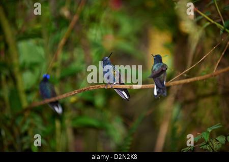 velvet-purple coronet (Boissonneaua jardini), Hummingbird (Trochilidae) near Mindo - Stock Photo