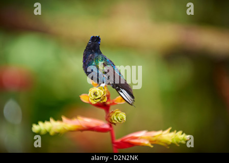 velvet-purple coronet (Boissonneaua jardini), Hummingbird (Trochilidae) near Mindo - Stock Photo