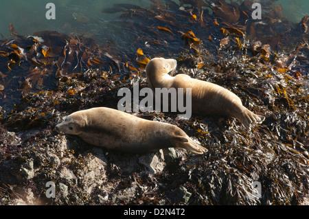 Atlantic grey seals (Halichoerus grypus) hauled out on rock, Skomer Island, Pembrokeshire, Wales, United Kingdom, - Stock Photo