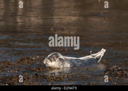 Atlantic grey seal (Halichoerus grypus) pup, Martins Haven, Pembrokeshire, Wales, United Kingdom, Europe - Stock Photo