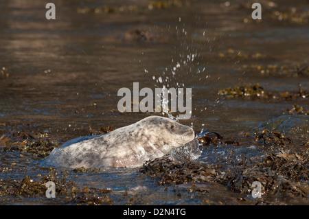 Atlantic grey seal (Halichoerus grypus) pup, Martins Haven, Pembrokeshire, Wales, United Kingdom, Europe