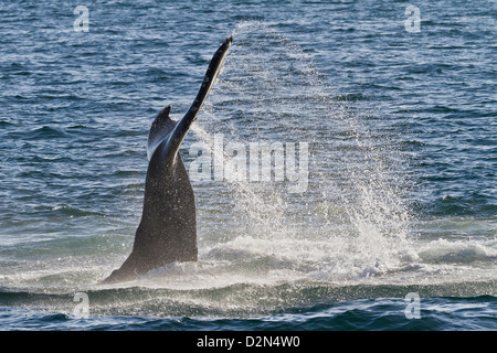 Humpback whale (Megaptera novaeangliae) tail slap, Gulf of California (Sea of Cortez), Baja California Sur, Mexico - Stock Photo