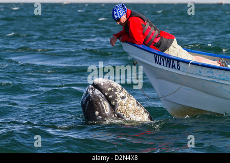 California gray whale (Eschrichtius robustus) and whale watcher on boat, San Ignacio Lagoon, Baja California Sur, - Stock Photo