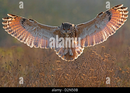 european eagle owl with wings spread, backlit stock photo, royalty