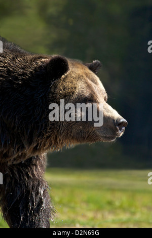 Grizzly bear (Ursus arctos horribilis), Grizzly and Wolf Discovery Centre, West Yellowstone, Montana, USA - Stock Photo