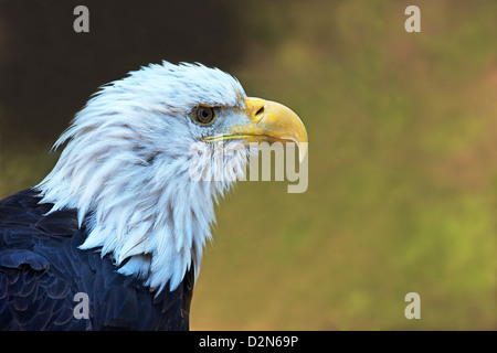 Captive bald eagle (Haliaeetus leucocephalus), Grizzly and Wolf Discovery Centre, West Yellowstone, Montana, USA - Stock Photo