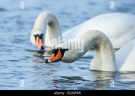 Pair of displaying Mute Swan (Cygnus olor), Welney, Norfolk. - Stock Photo