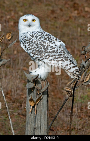 Great Snowy Owl Nyctea scandiacus sitting on fence post North America - Stock Photo