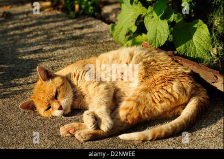 Hauskatze (Felis silvestris forma catus) Domestic cat • Landkreis Schwaebisch Hall, Baden-Wuerttemberg, Deutschland - Stock Photo