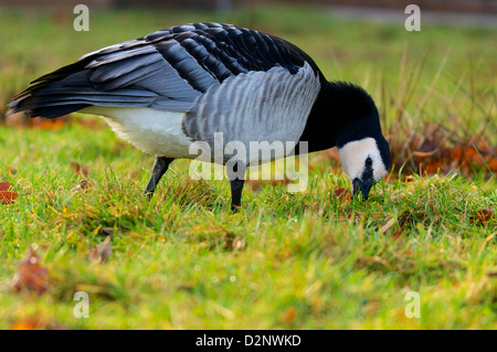 Barnacle Goose grazing in a meadow, Weisswangengans weidend. - Stock Photo