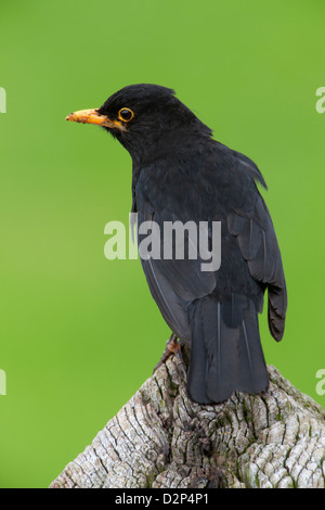 Eurasian Blackbird Turdus merula adult male in breeding plumage perched on fence post - Stock Photo