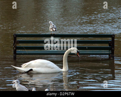 River Nene, Peterborough, Cambridgeshire, UK.  30th January 2013. A gull preens itself on a bench as a swan glides - Stock Photo
