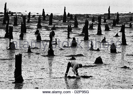 a man digs bait amidst the rotting wooden piles on a Brittany beach - Stock Photo