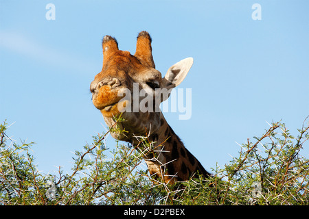 giraffe eating leaves - Stock Photo