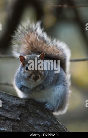 Grey Squirrel (Sciurus carolinensis) Portrait - Stock Photo